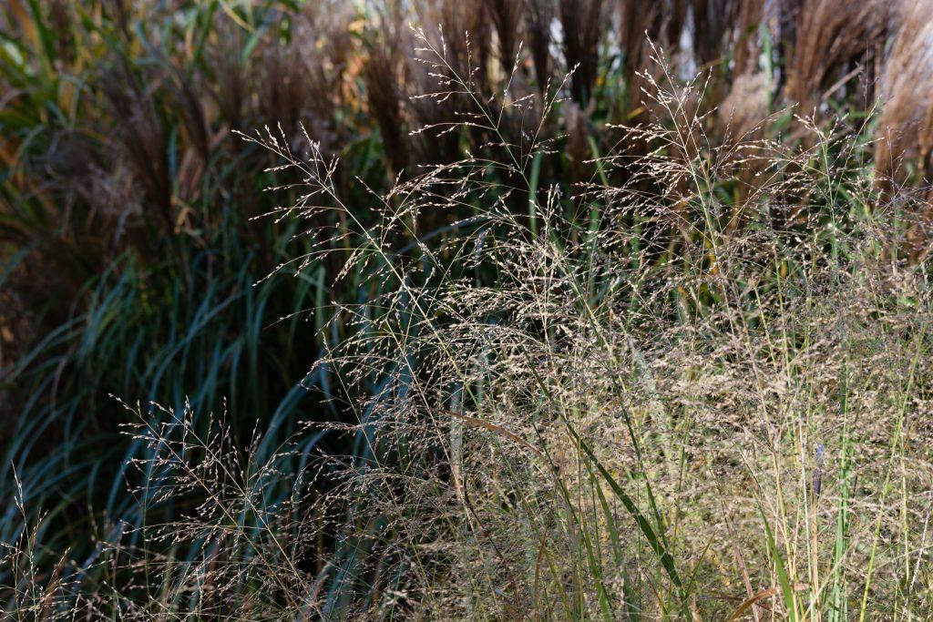 Panicum virgatum (Rutenhirse)
