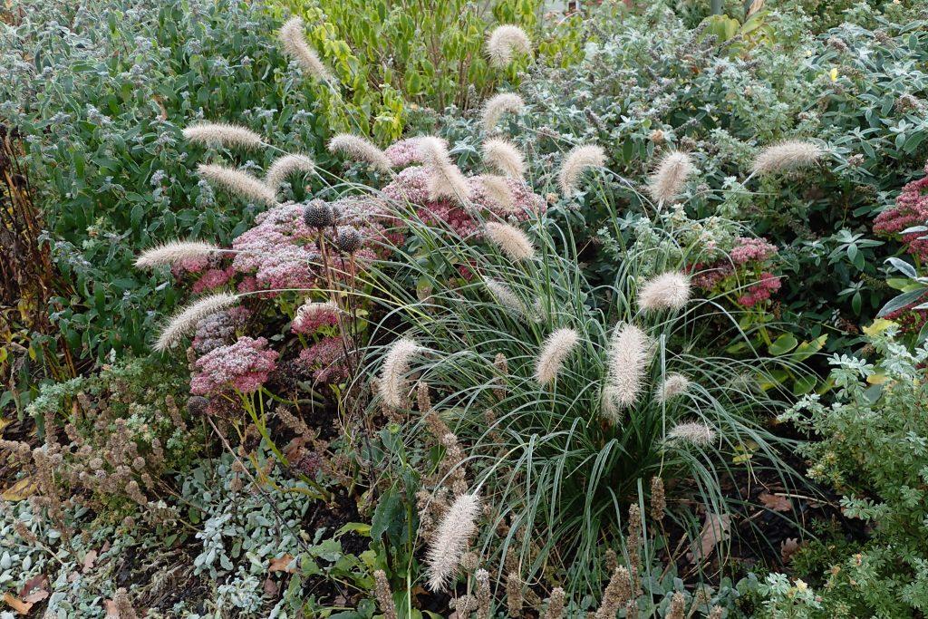 Pennisetum alopecuroides 'Hameln' (Lampenputzergras) mit Puderzucker (Raureif)
