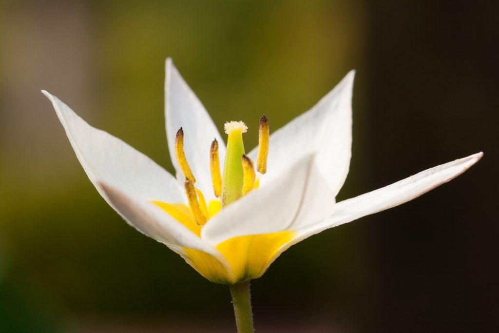 Tulipa turkestanica (Gnomen-Tulpe)