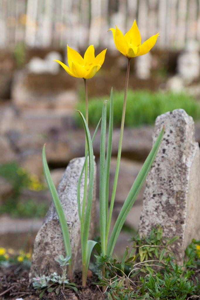 Tulipa sylvestris (Weinberg-Tulpe)