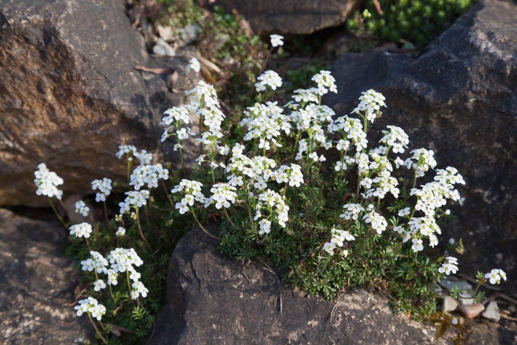 Hutchinsia alpina (Gemskresse)
