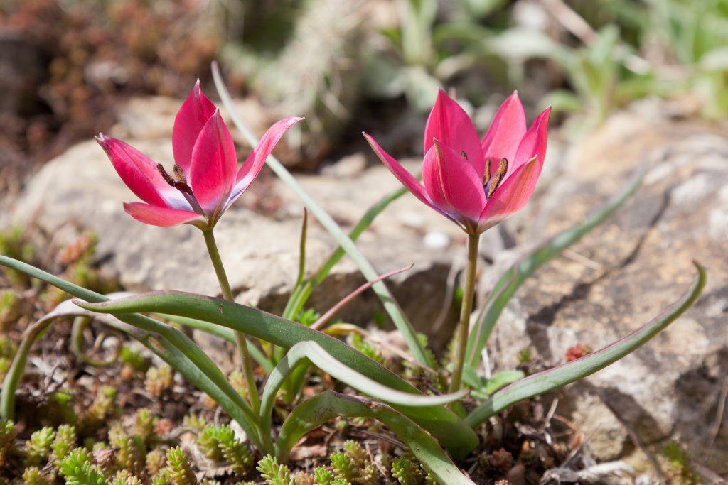 Tulipa humilis 'Violacea Black Base' (Wildtulpe)