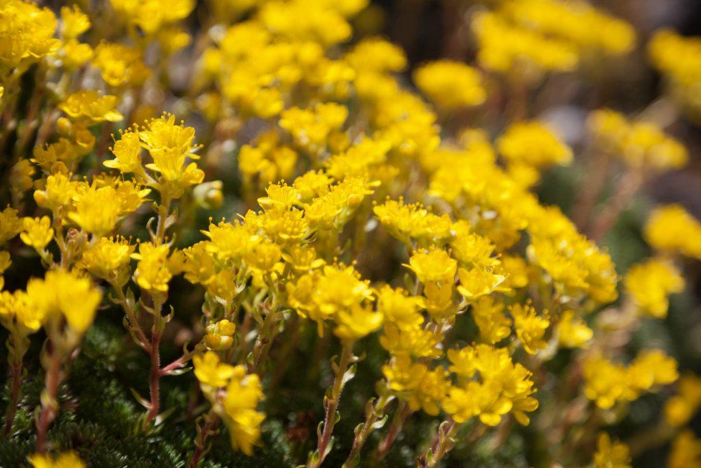 Saxifraga juniperifolia (Frühlingssteinbrech)