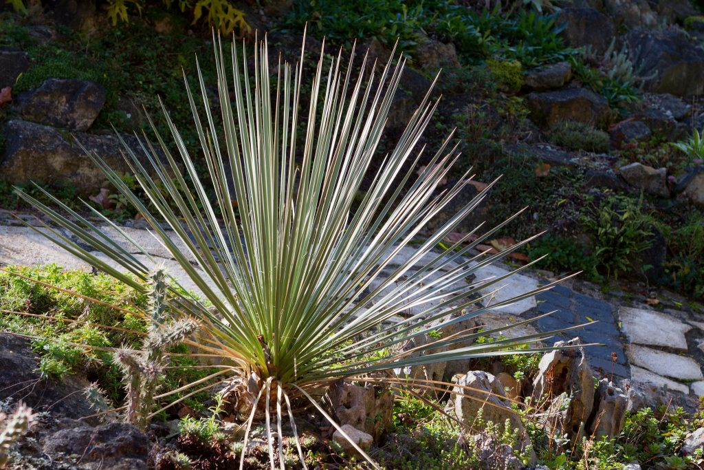 Yucca glauca (Blaugrüne Palmlilie)