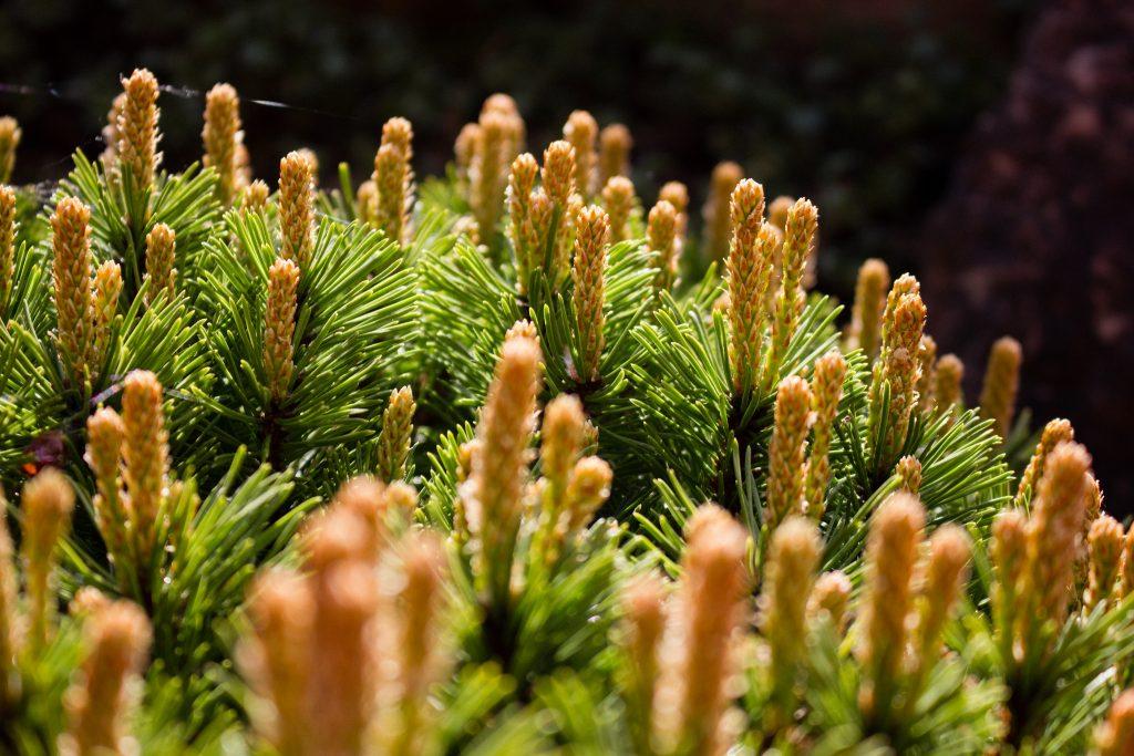 Pinus mugo subsp. uncinata 'Paradekissen' (Kriechkiefer)