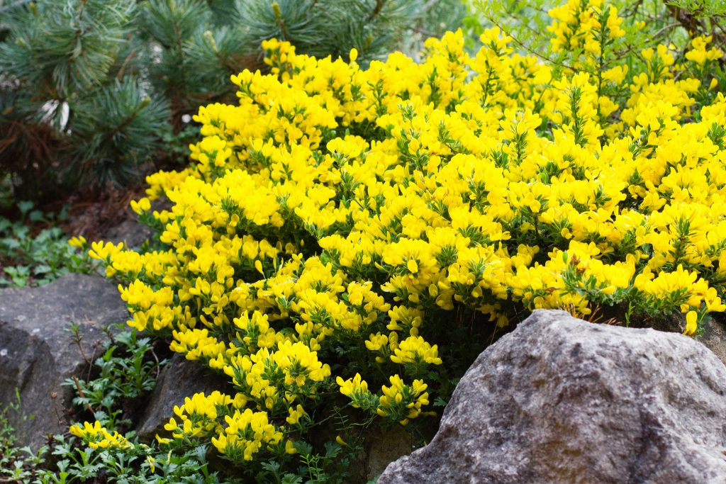 Cytisus decumbens (Kissenginster)