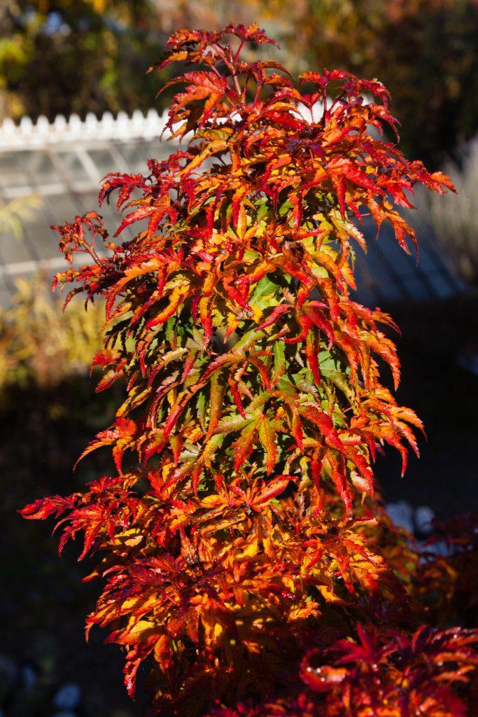 Beeindruckende Herbstfärbung: Acer palmatum 'Sharp's Pygmy' (Fächer-Ahorn)