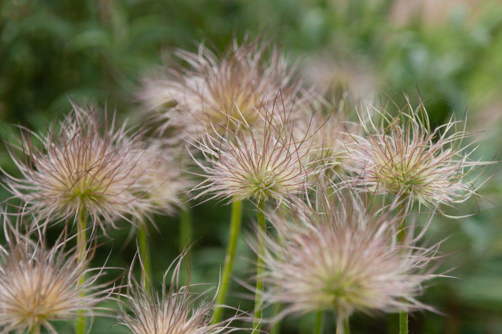 Samenstände von Pulsatilla vulgaris Sämling (Küchenschelle)