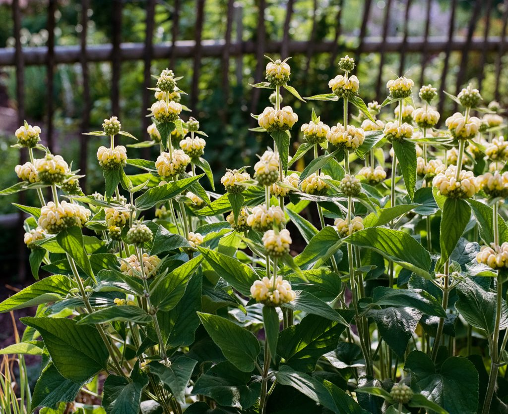 Phlomis russeliana (Brandkraut) in meinem Garten
