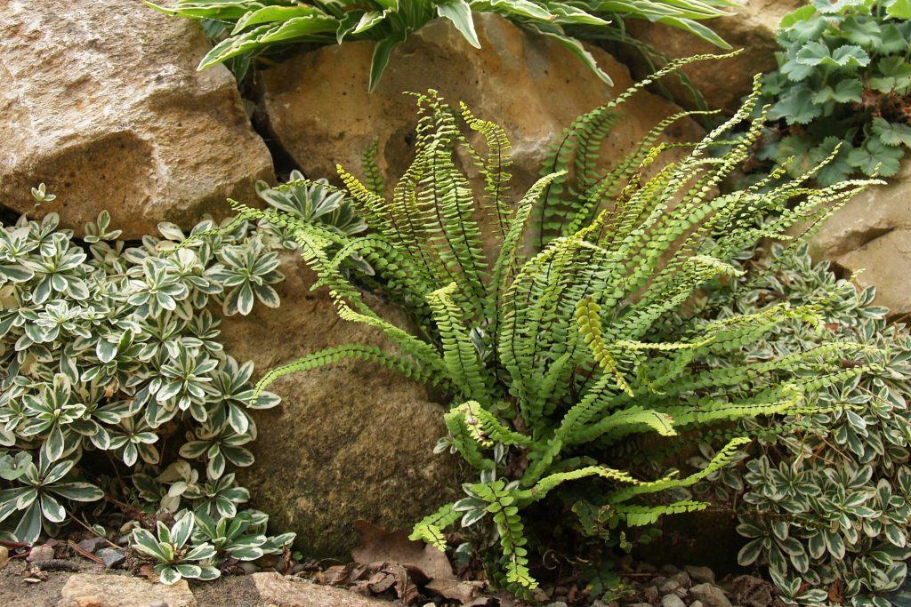 Asplenium trichomanes (Braunstielige Streifenfarn) wächst in einer absonnigen Steinfuge.