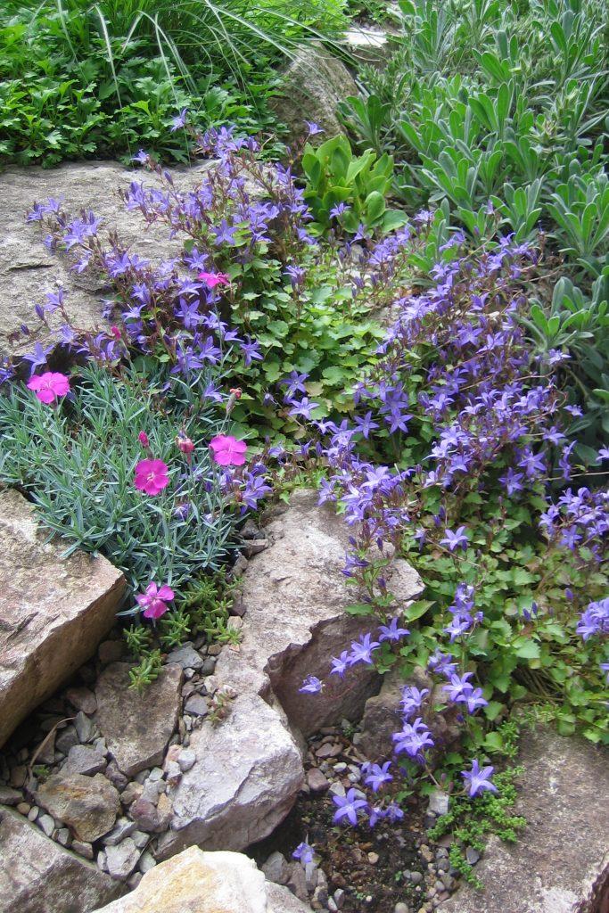 Campanula poscharskyana 'Hirsch Blue' (Hängepolster Glockenblume) und Dianthus gratianopolitanus 'Badenia' (Pfingst-Nelke)