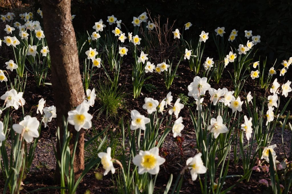 Narcissus 'Ice Follies' (Großkronige Narzisse)