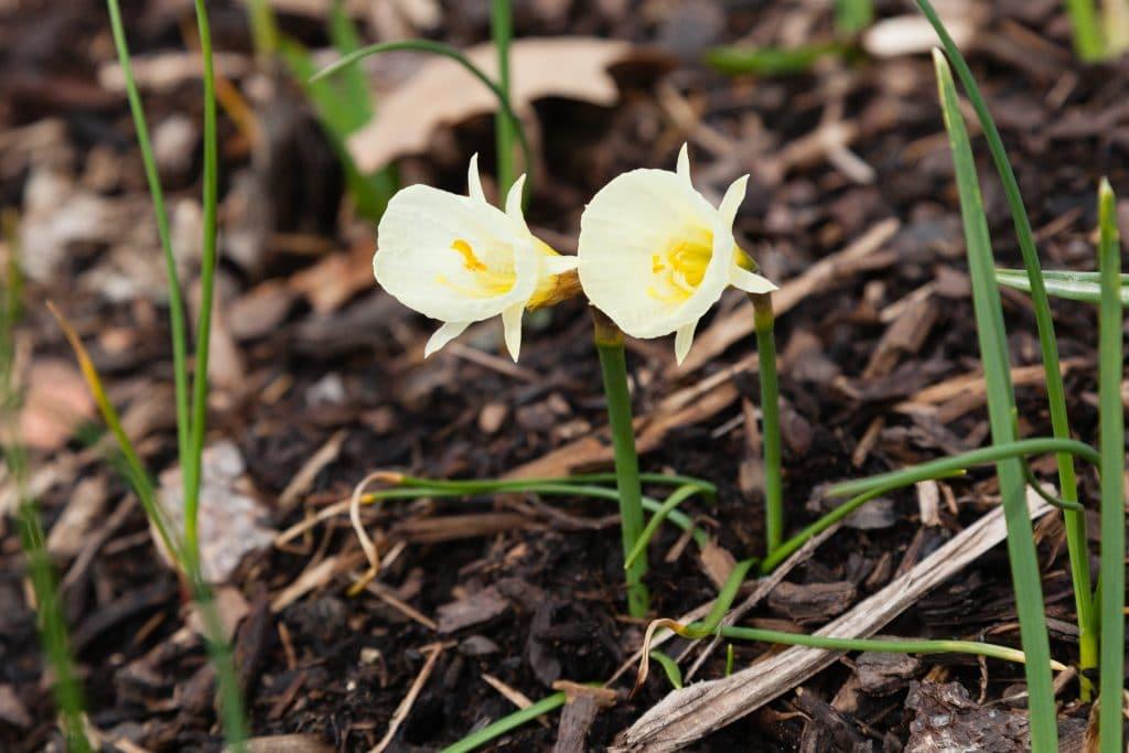 Narcissus bulbocodium 'Spoirot' (Reifrock-Narzisse)