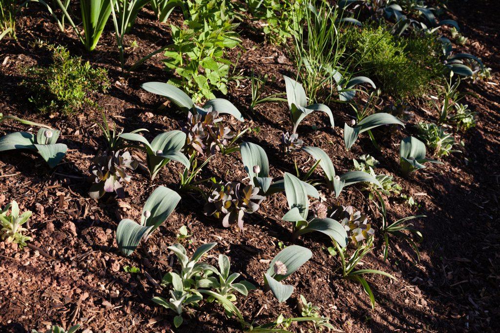 Allium karataviense (Blauzungen-Lauch)