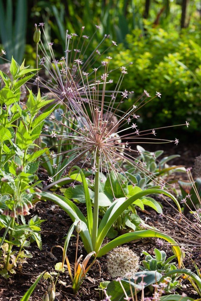 Allium schubertii (Schuberts Lauch, Igelkolben-Lauch) ist nun voll aufgeblüht.