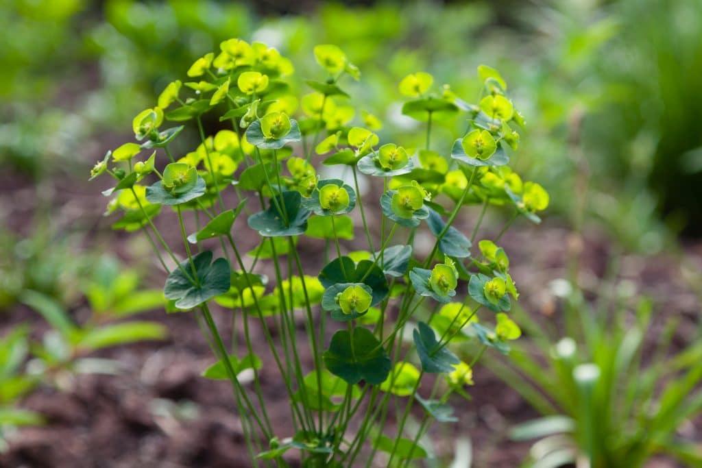 Euphorbia amygdaloides (Mandelblättrige Wolfsmilch)