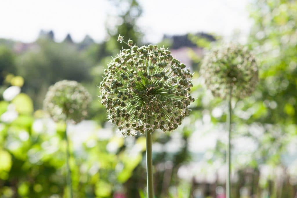 Die Allium Hybride 'Mount Everest' (Weißer Riesen-Lauch) ist auch nach der Blüte noch attraktiv.