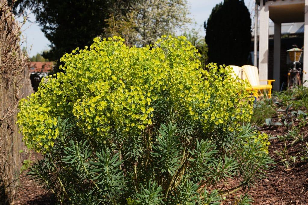 Euphorbia characias ssp. wulfenii (Mittelmeer-Wolfsmilch)