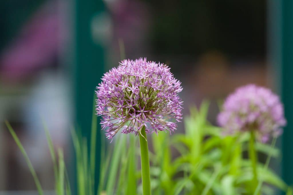 Allium Hybride 'Globemaster' (Riesen-Lauch)