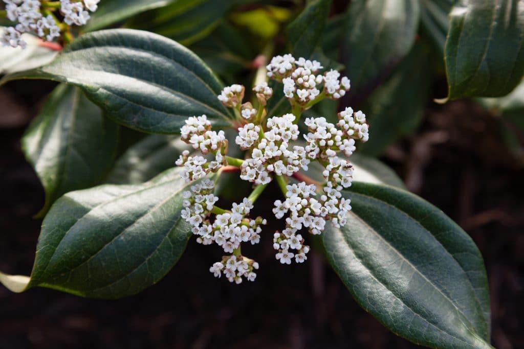 Viburnum davidii (Immergrüner Kissenschneeball)