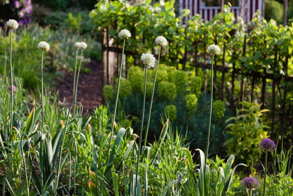 Allium Hybride 'Mount Everest' (Weißer Riesen-Lauch)