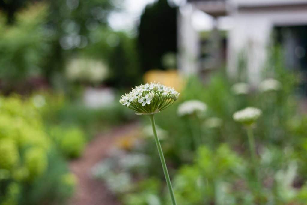 Allium nigrum (Zier-Lauch)