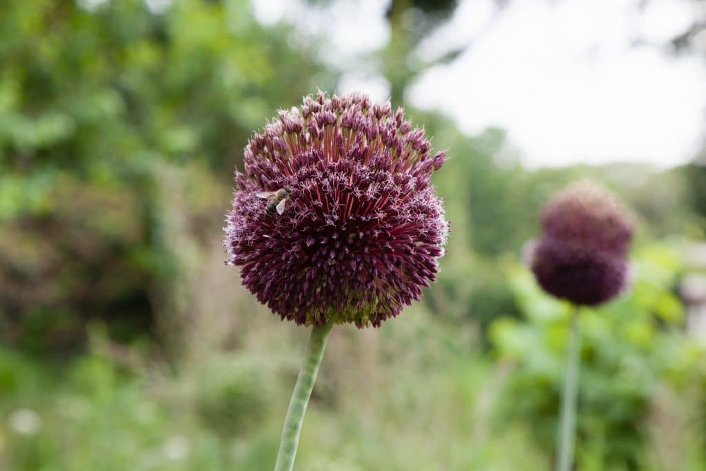 Nun voll aufgeblüht: Allium Hybride 'Forelock' (Zier-Lauch)