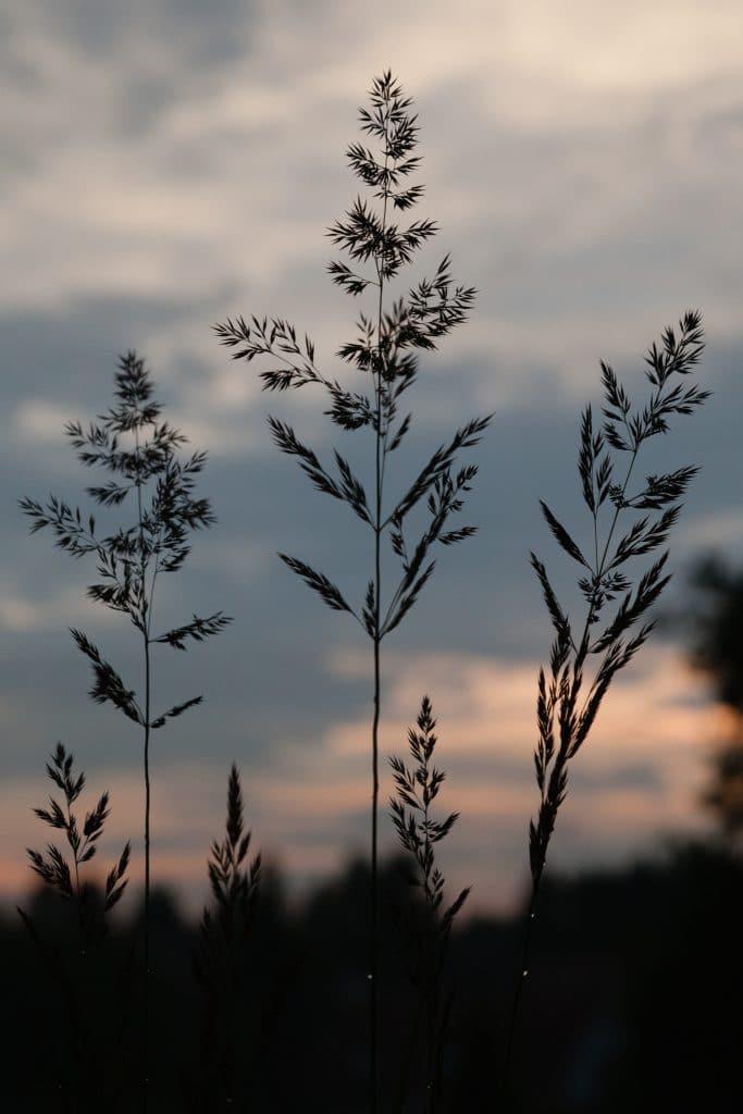 Calamagrostis x acutiflora 'Karl Foerster' (Garten-Reitgras)