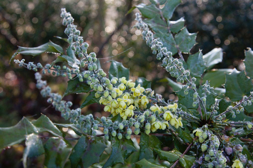 Mahonia bealei – Ein duftiger Winter- und Vorfrühlingsblüher