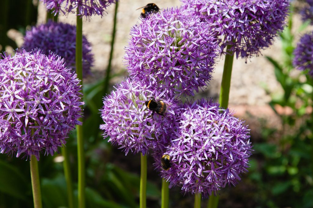 Lieblingspflanze: Allium