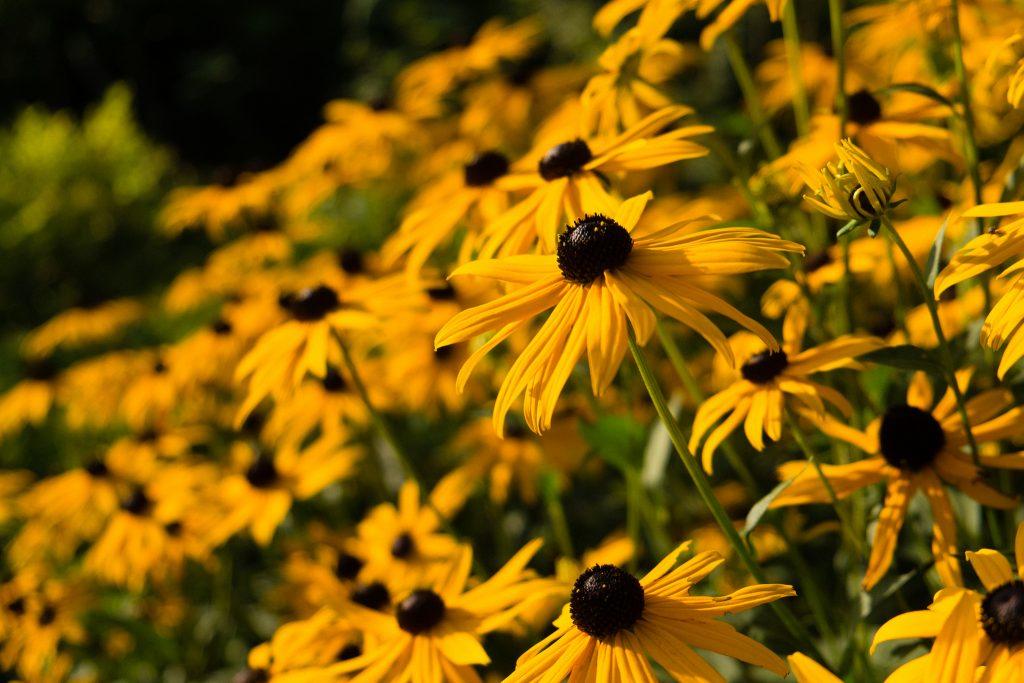 Der gelbe Sonnenhut