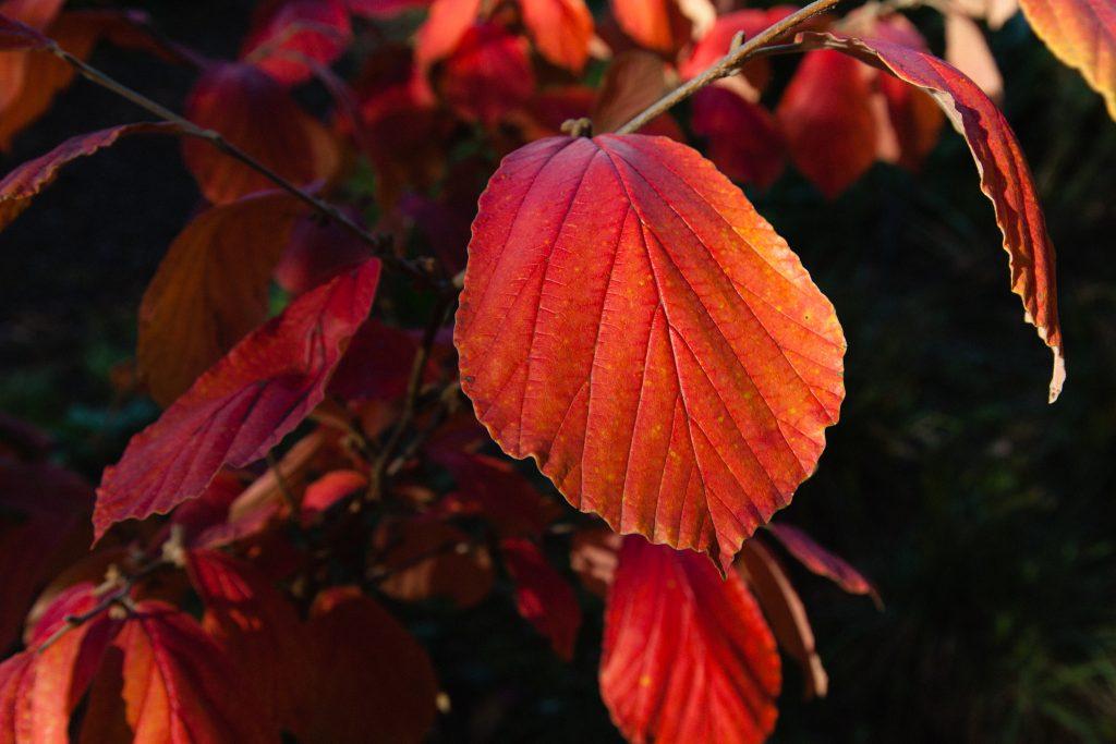 Bildersammlung: Herbstfärbende Gehölze in unseren Gärten