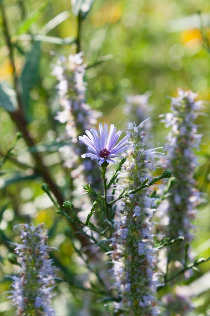 Anfang August: Die ersten Astern blühen!