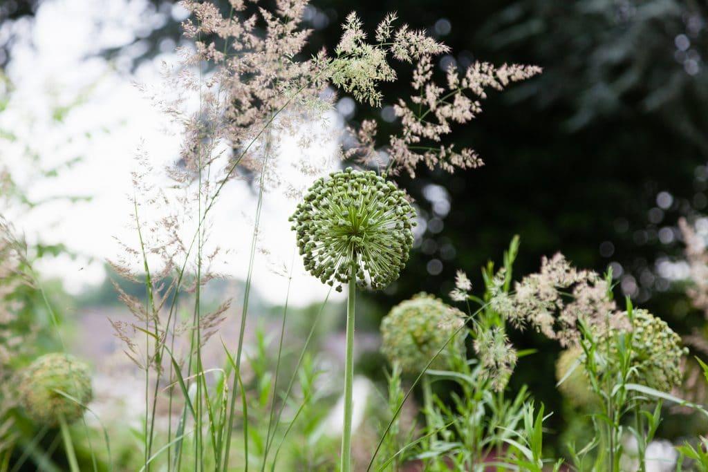 Samenstände der Allium Hybride 'Mount Everest' (Weißer Riesen-Lauch), im Hintergrund blüht Calamagrostis x acutiflora 'Karl Foerster' (Garten-Reitgras).