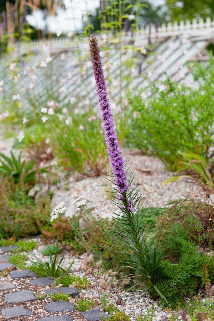 Dieser Liatris-Sämling (Prachtscharte) begeisterte mit seinem ungewöhnlich lagen Blütenstand so manchen Gartenbesucher.