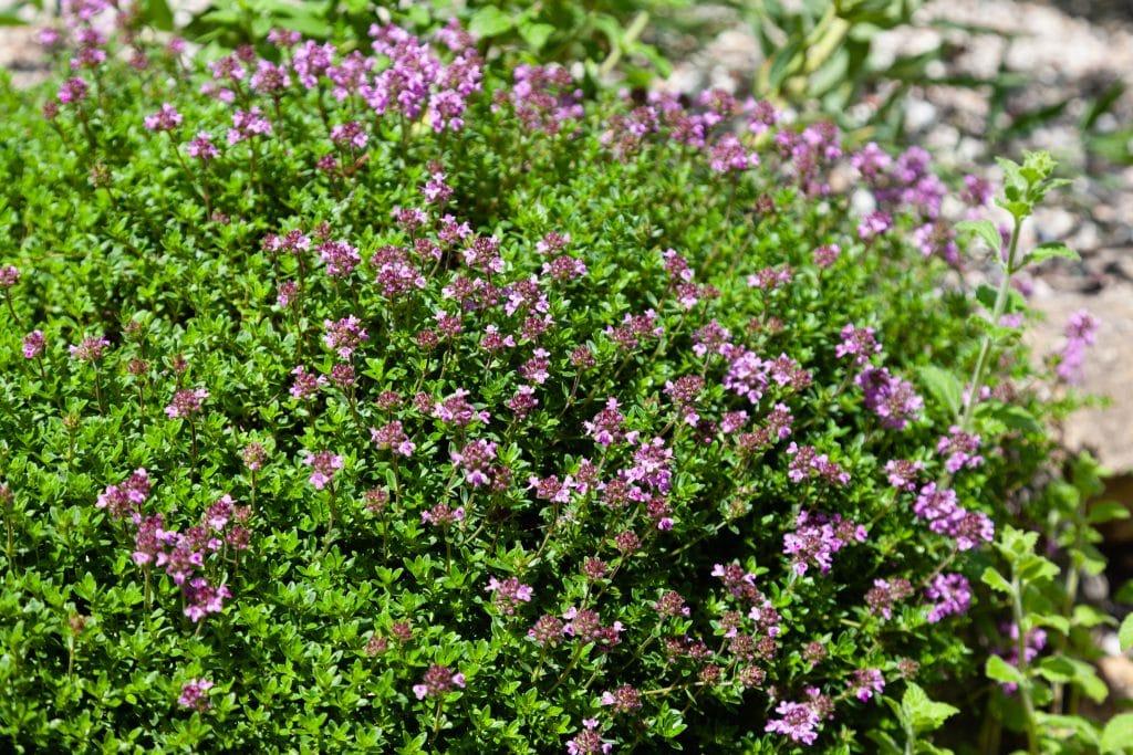 Thymus serpyllum 'Coccineus' (Roter Sand-Thymian)