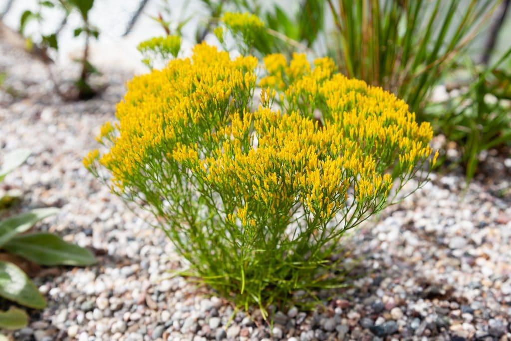 Blüht von August bis Oktober: Bigelowia nuttallii (Bigelowie)