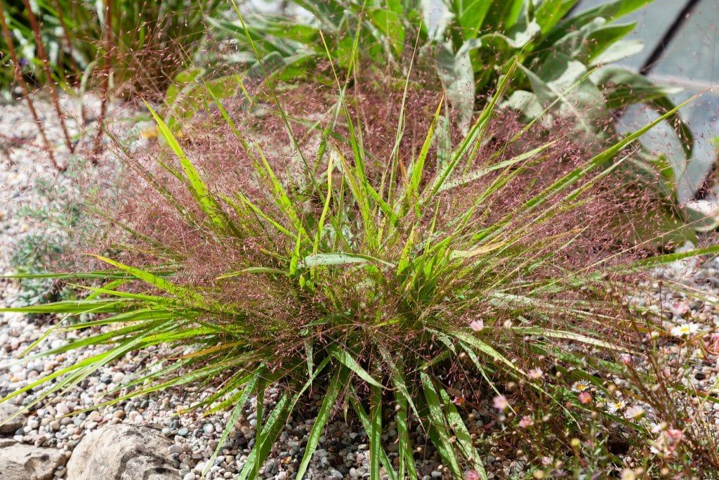 Stammt aus Nordamerika: Eragrostis spectabilis (Purpur-Liebesgras)